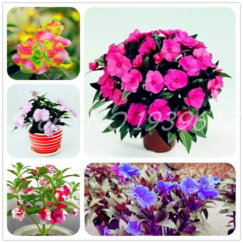 20 Pcs Super Balsam Double Impatiens Flower Bonsai, Rare Beautiful Flower Plant For Home Garden Easy To Grow Rare Variety