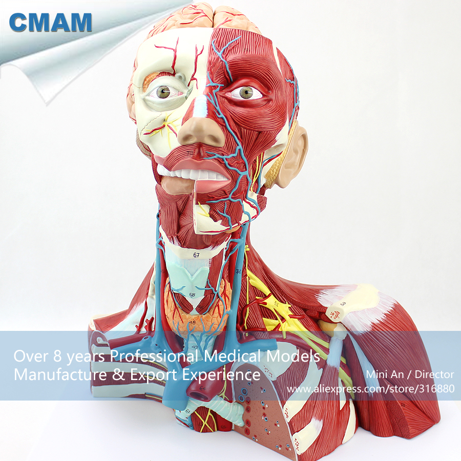 12310 CMAM-MUSCLE16 Deep Anatomical Structure Model of Human Neck, Medical Science Educational Teaching Anatomical Models cmam spine11 human vertebral column w half femur highly detailed model medical science educational teaching anatomical models