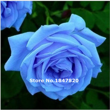 GGG 100pcs China Rare blue rose seeds,Beautiful Flower rainbow rose seed Bonsai plants Seeds for home & garden(China)