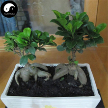Buy Real Ficus Microcarpa Tree Seeds 50pcs Plant China Roots Ginseng Ficus Bonsai Grow Chinese Ren Shen Rong