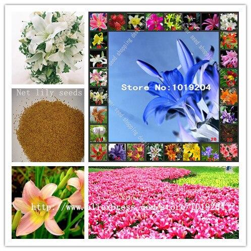 High-grade perfume lily seed, beautiful 28 varieties of