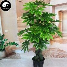Купить fatasia Japonica дерево Semente 240 шт растение кустарник Ba Jiao Jin Pan