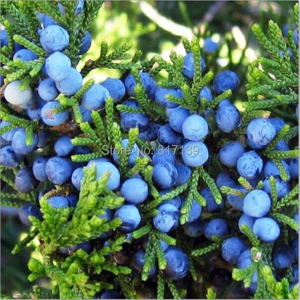 how to grow juniper berries