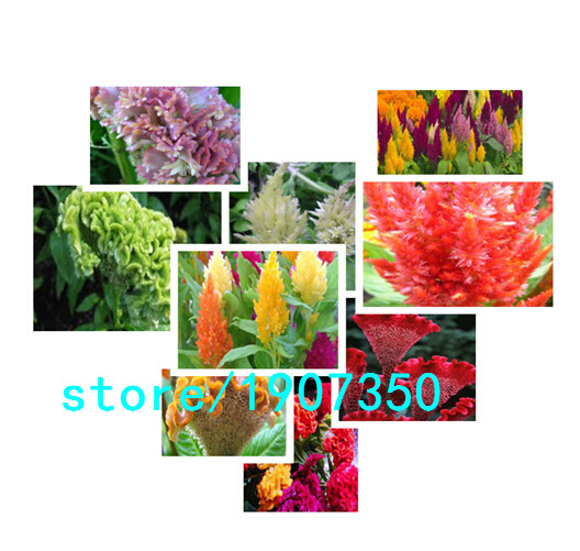 500 PCS / bag Colorful Pteris Cockscomb (celosia spic T