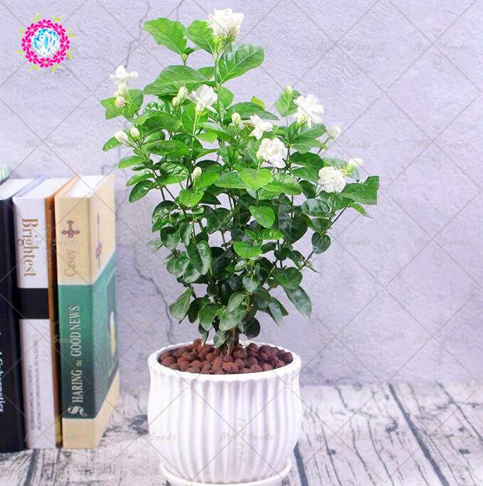 20pcs White Jasmine Seeds Bonsai Flower Seeds Arabian Jasmine Aromatic Plant Good Smell Perennial Potted Flower Seeds For Garden