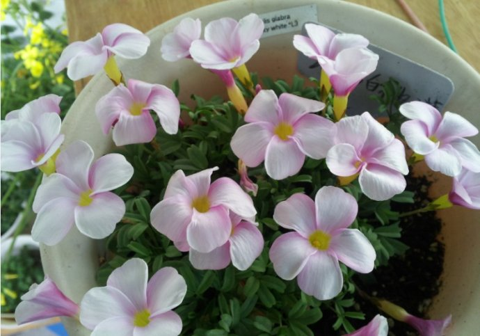 3PCS Rare Oxalis glabra pinky white Oxalis Flowers bulbs color rotary Oxalis bulbs For Garden(bubls is small)