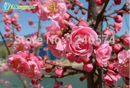 10 unids prunus triloba semilla, rehmannia glutinosa, plantar en