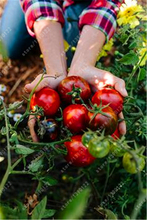 200pcs/bag red black tomato seeds cherry tomato Organic heirloom seeds vegetables tomato tree seeds plant for home garden