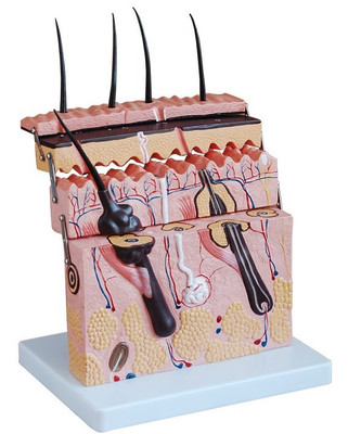Three-dimensional skin model skin section model skin model dermatology doctor patient communication model beauty microscopic skin anatomical human model