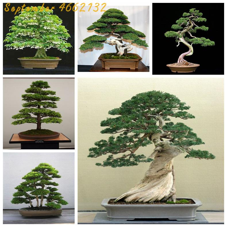 Hot Sale!Lowest Price! 50 Juniper Bonsai Tree Potted Flowers Office Bonsai Purify The Air Absorb Harmful Gases Juniper Garden