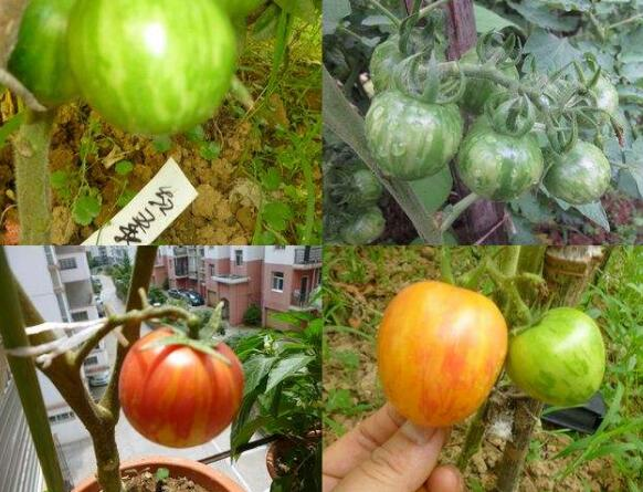 Rare 100PCS Bee Bosque Tomato Seeds Heirloom Vegetable Seed Rare Plants The Budding Rate 95%