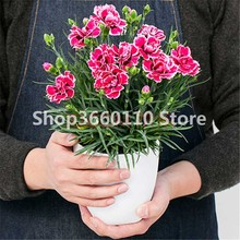 Seedsplants Pan American Double-flowered Dianthus Flower bonsai Dynasty Series Autumn Sowing Spring Carnations 100pcs