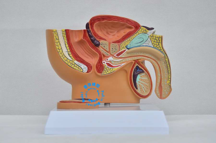 Free Shipping&Male Pelvic Cavity Model, Male Pelvic Testis Prostate Model,for Male Hospital