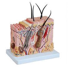 70X Life Size Anatomical Human Skin Block Model Medical Dermatology Anatomy
