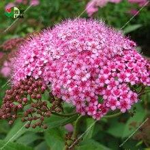 лучшая цена 100 pcs/bag rare Spiraea chrysanthemum seeds meadow sweets plant bonsai tree seeds potted for home garden