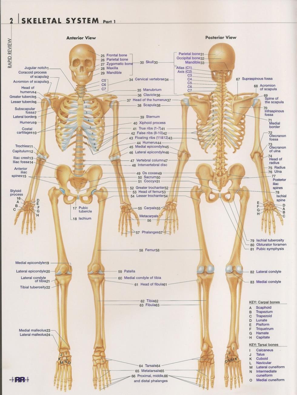 Cuerpo Humano Anatomical Chart sistema muscular acuarela inkjet tela ...