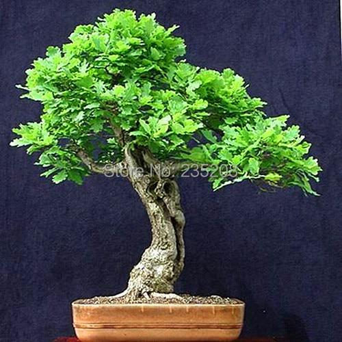 Buy Hot Selling 20pcs Oak Seeds Bonsai