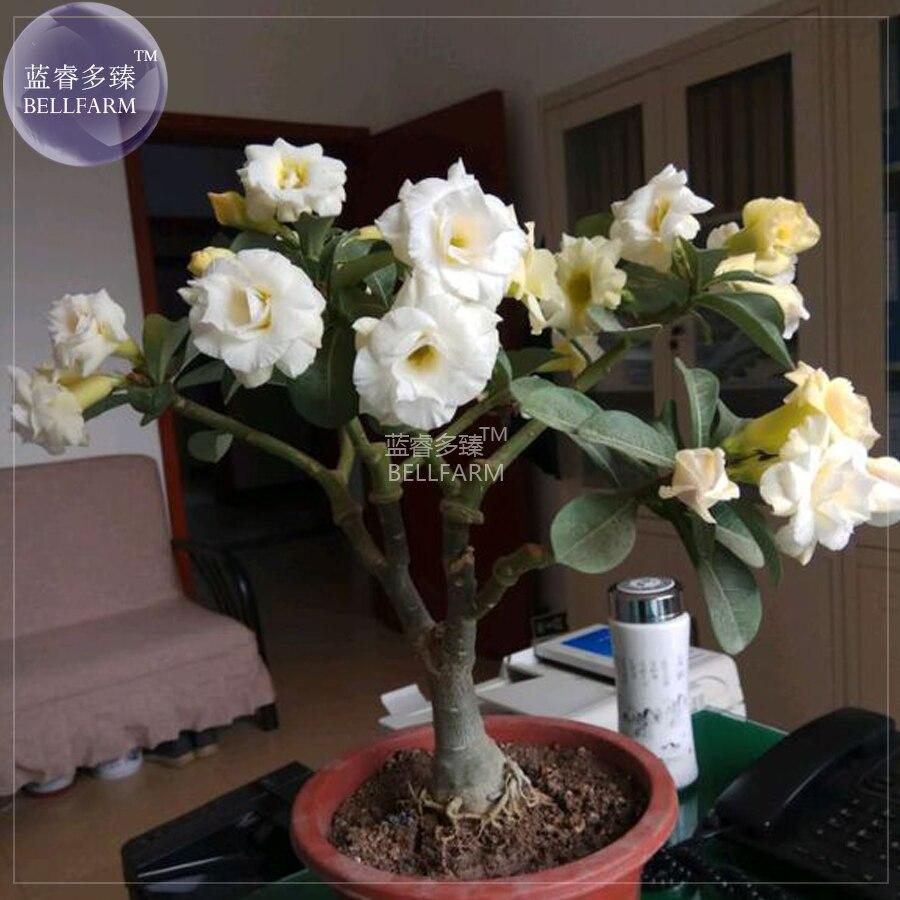 Bellfarm Adenium White Yellow Bonsai Tree Flower Seeds 2 Seeds 4