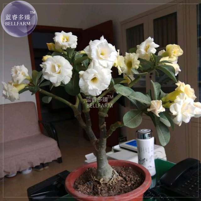 Bellfarm adenium white yellow bonsai tree flower seeds 2 seeds 4 bellfarm adenium white yellow bonsai tree flower seeds 2 seeds 4 layer desert mightylinksfo