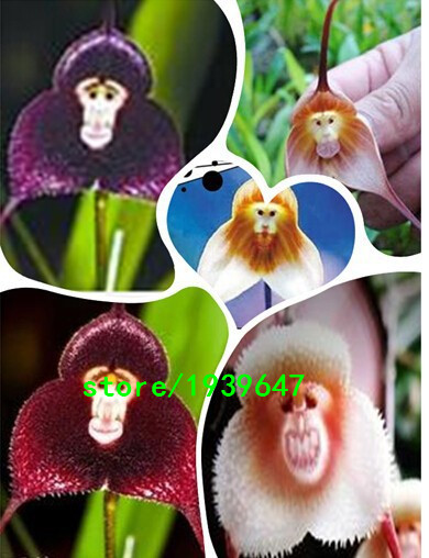 The National Flower Of Panama Beautiful Peristeria Elata Is Also Called Dove Orchid Or Holy Ghost Due To Its Resemblance A