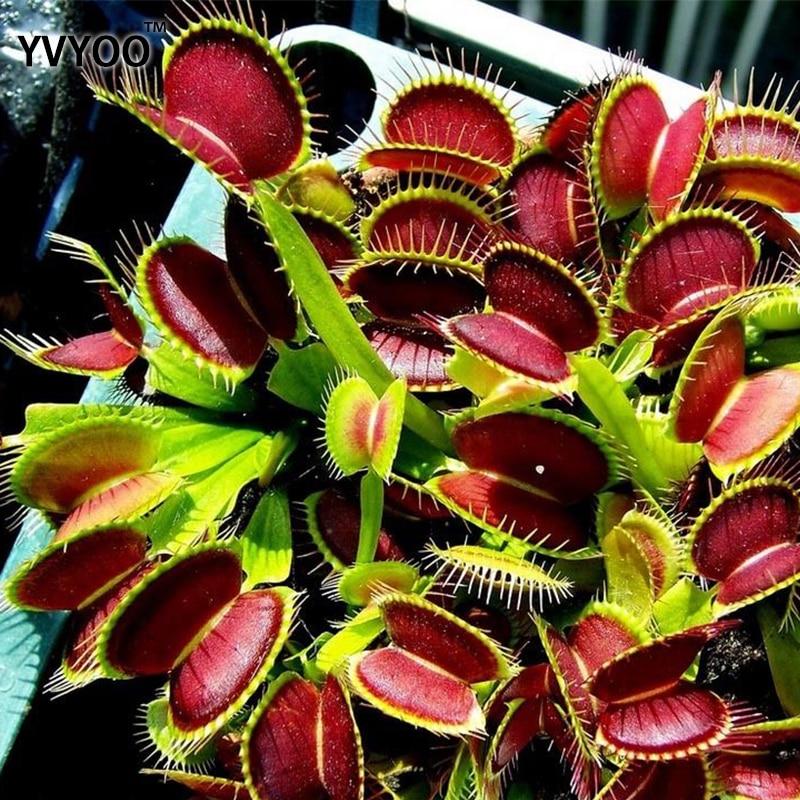 New Arrival Home Garden 100pcs Plants Venus Fly Trap Dionaea Muscipula Carnivorous Plant Plants Free Shipping Diy Plant Semente