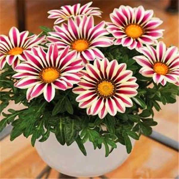 Promosyon! Çok renkli karışık krizantem 100/çanta güzel krizantem bonsai çiçek doğal saksı ev bahçe dekorasyonu