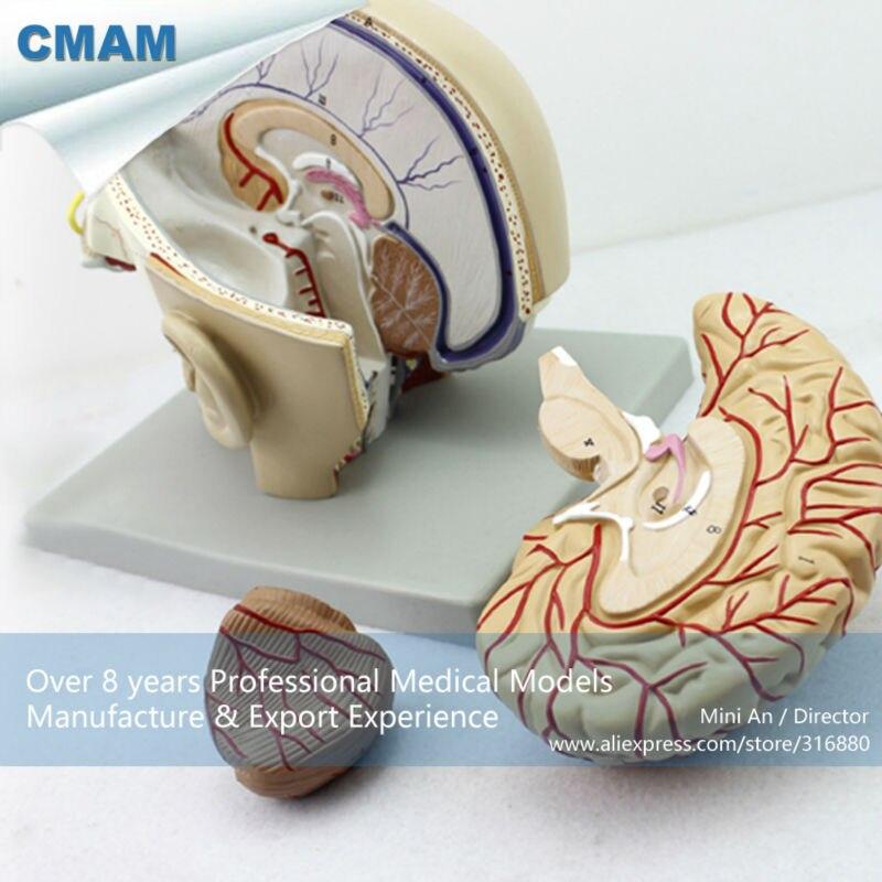 12401 Cmam Brain04 Section Of Head With Brain 4 Parts Anatomy