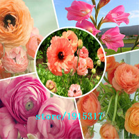GGG 100 Pcs Ranunculus Flowers Persian Buttercup For Home Garden DIY Plants Persian Buttercup Seed Flower