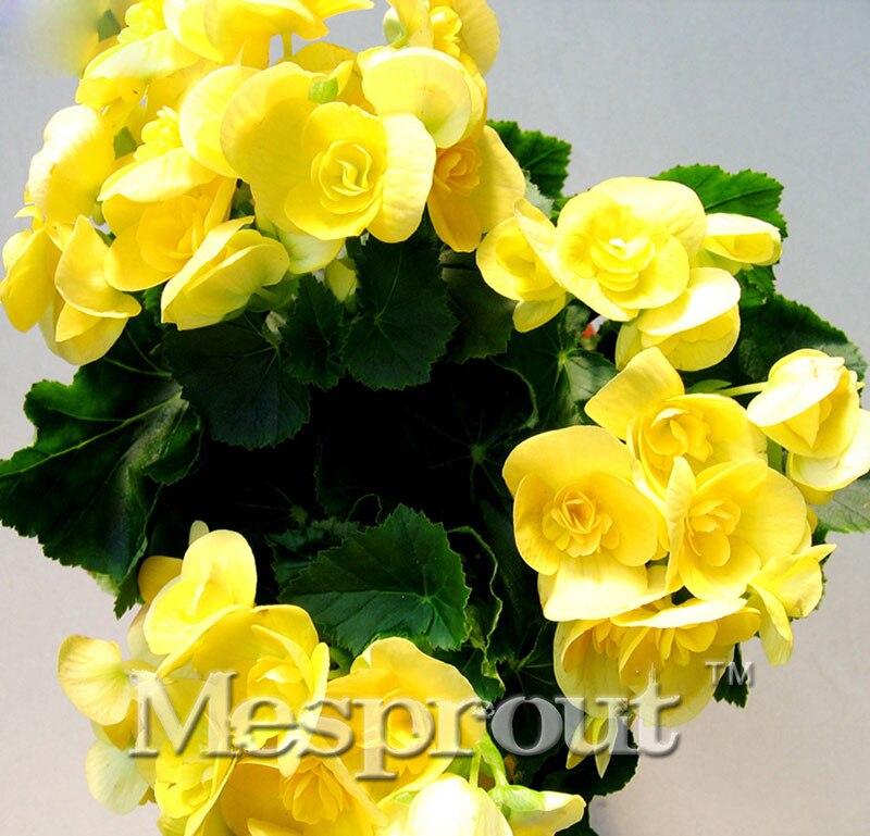 ON SAL ! Yellow Begonia Seeds 100% True Malus Spectabil