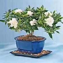 100Pcs Gardenia Cape Jasmine Seeds