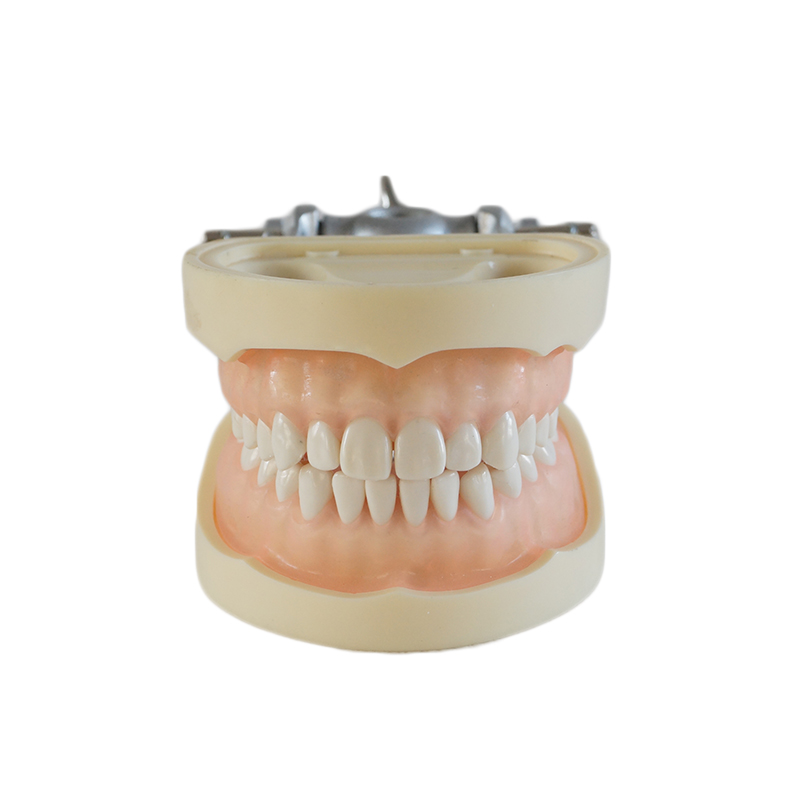 Dental Study Model Standard Dentition Teeth Model with 28 teeth with DP Articulator Soft Gum 1 pcs dental standard teeth model teach study