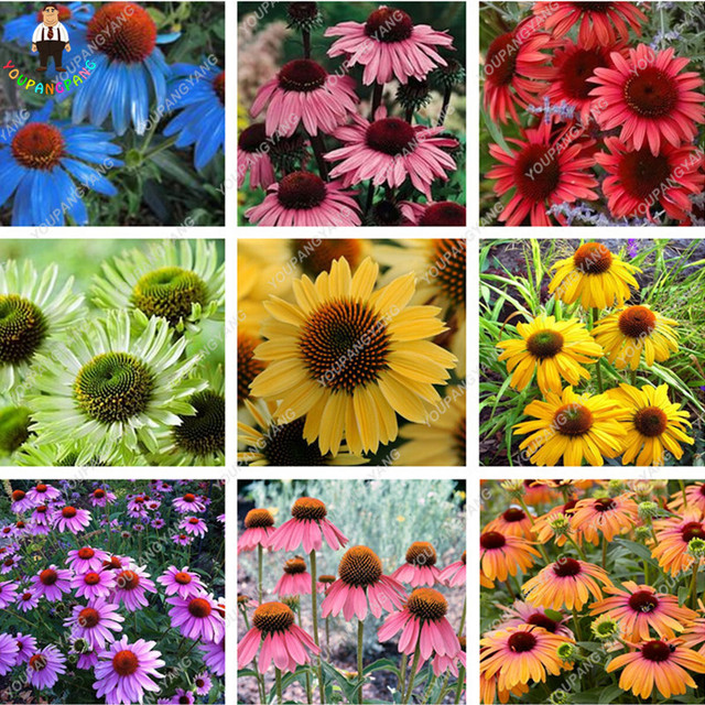 120 pcs rare japon echinacea purpurea graines belle fleur de marguerite graines maison jardin. Black Bedroom Furniture Sets. Home Design Ideas