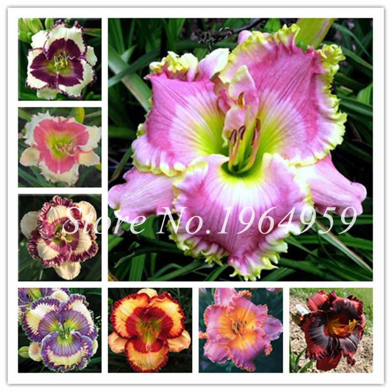 120 Pcs Hybrid Bright Daylily Flower Bonsai Beautiful Hemerocallis Lily Outdoor Indoor Plant Home Garden Supplies For Flower Pot