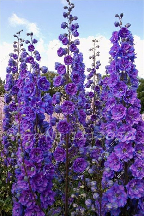 Absolutely love Delphiniums. These have suvh beautiful colour.