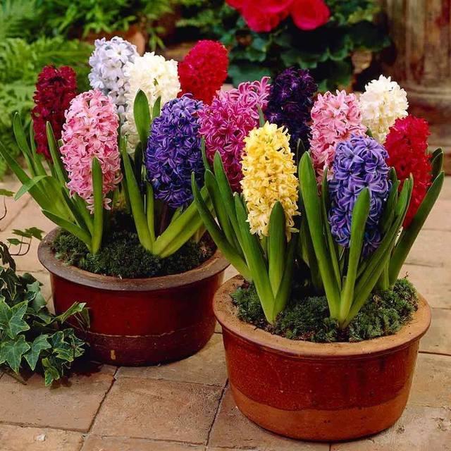 Acquistare articoli da giardino 100pcs hyacinth bonsai for Articoli x giardino