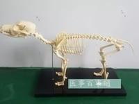 0.64M Dog skeletal model dog skeletal specimen model