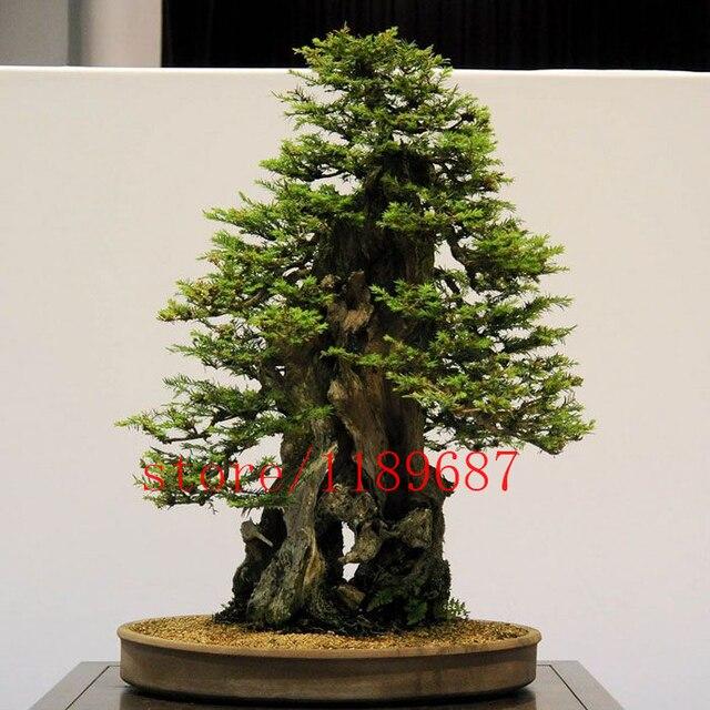 100pcs Bag Sequoia Coast Redwood Bonsai Sequoia Sempervirens Bonsai Tree Potted For Home Garden