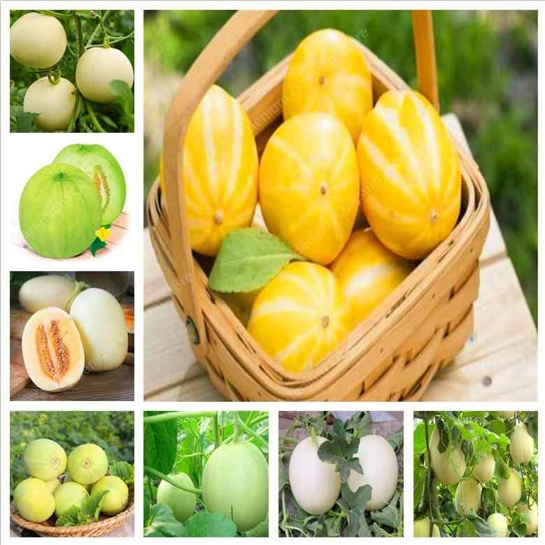 20 PCS Super Big Sweet Melon Cucumis Melo Bonsai Cantaloupe Jumbo Melon Rare Heirloom Succulent Plants Sweet Fast Growing