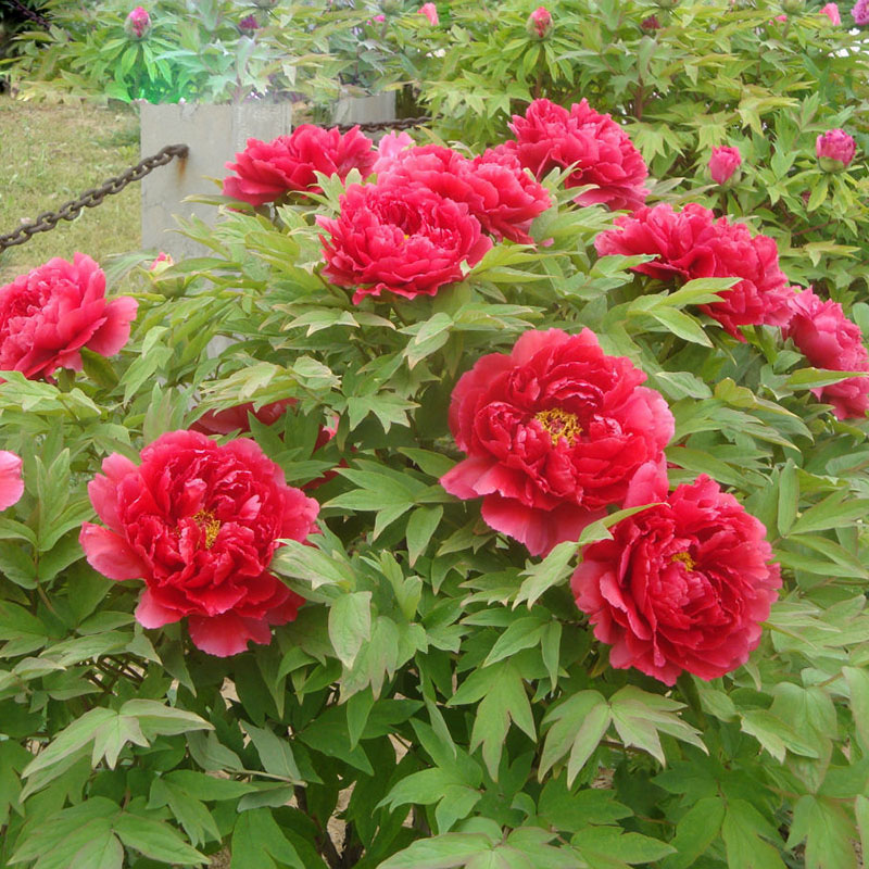 buy peony seeds potted paeonia suffruticosa seeds peony flower 16 colors. Black Bedroom Furniture Sets. Home Design Ideas