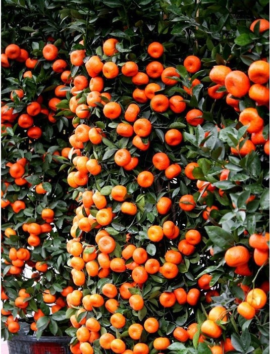 60Pcs Mini Orange Seeds Potted Edible Fruit Seeds Bonsai China (Quanzhou) Climbing Orange Tree Seeds Climbing Plants ...