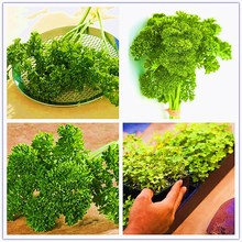 100pcs Heirloom Coriander plant All Seasons Parsley Organic Vegetable Bonsai Fragrant Edible Plant For Home Garden
