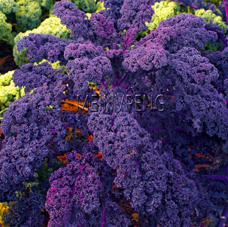 Planting Kale In Pots: Loss Promotion!100PCS Organic Purple Scarlet Kale Plants