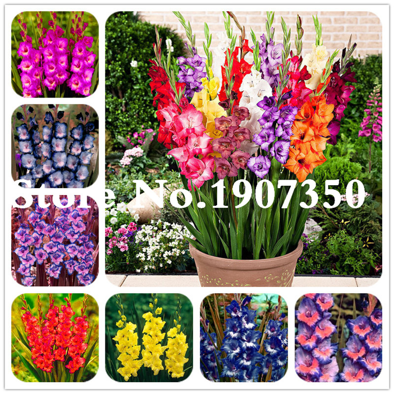 Главная Сад бонсай Gladiolus Flower, Bonsai Flower Plant, (не гладиолус луковицы), многолетние горшечные растения sementes de flores-200Pcs