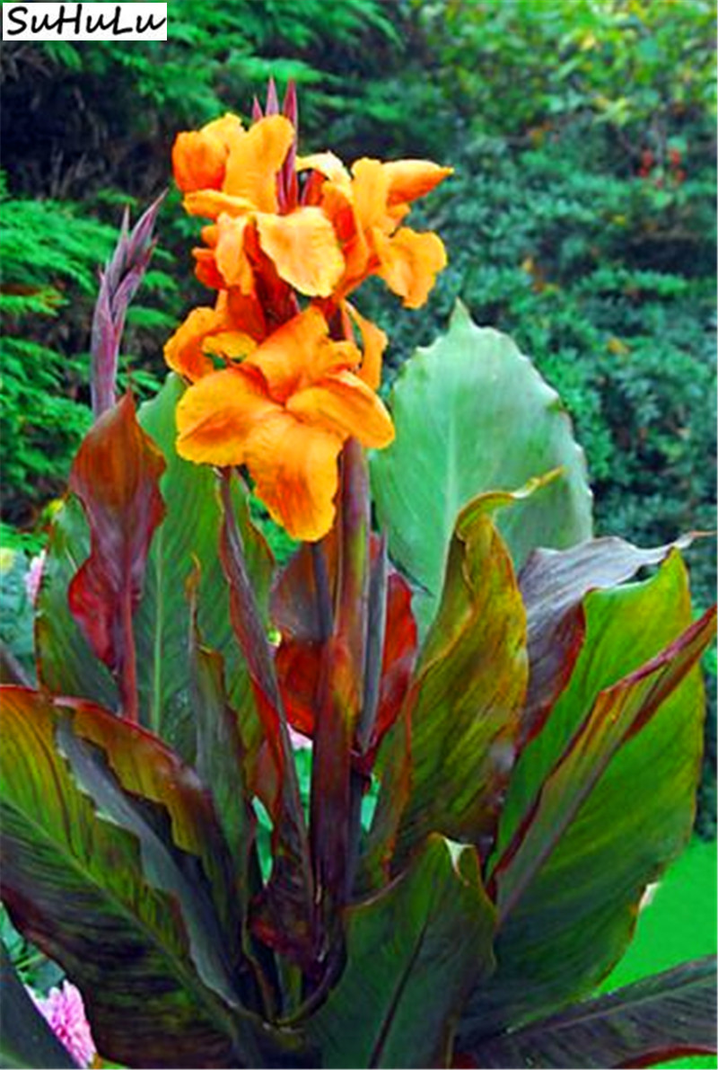 10 Pcs Bag Canna Lily Potted Flower Variety Complete The Budding