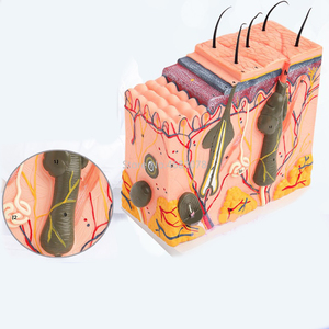 Image 3 - Ludzka skóra i struktura włosów powiększ Model struktura warstwy skóry Model struktura skóry anatomia kosmetyczne pomoce szkoleniowe