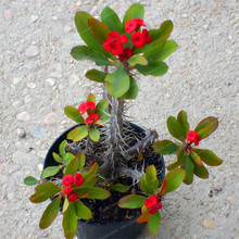 100Pcs Euphorbia Balsamifera Wolfsmilk Seeds