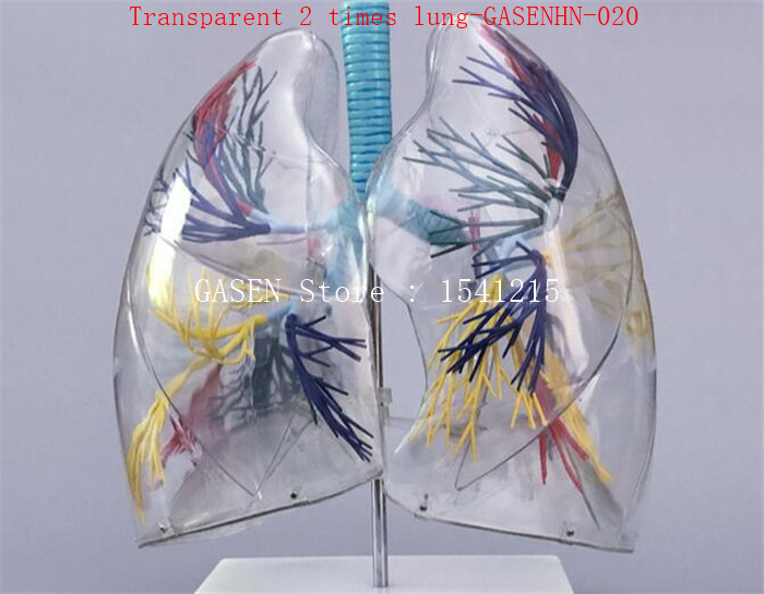 Anatomical model of lung segment Left and right lungs Bronchial tree Respiratory system Transparent 2 times lung-GASENHN-020 design and evaluation of microemulsion gel system of nadifloxacin