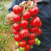 200pcs/bag Cherry tomato seeds,tomato seeds vegetable & fruit seeds no-GMO Delicious cheap  plant for home & garden 200 tomato seeds rare mini climbing tomato seeds cherry tomatoes sweet 200 mini tomato bonsai plant seeds organic food