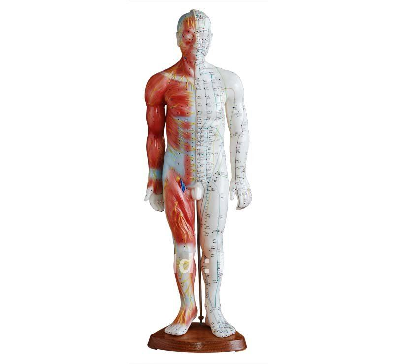 Acupuncture&Muscle model 55cm Male HR-517AAcupuncture&Muscle model 55cm Male HR-517A