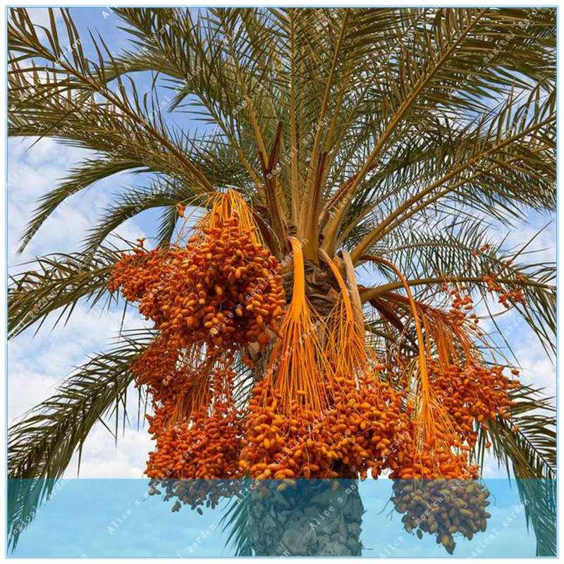 10PCS Rare Medjool Data dolce di frutta biologica naturale data palm tree bonsai piantare per la primavera fattoria forniture decorazione del giardino